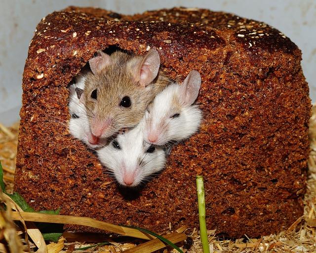 souris dans nourriture